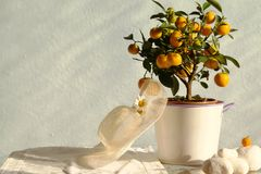 Tree with mandarins Stock Photography
