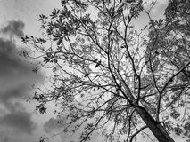 The tree with many crow Stock Photo