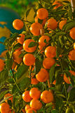 A tree with many oranges Stock Photography