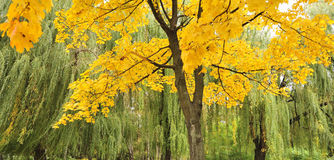 Tree of a maple with autumn foliage Stock Photos