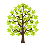 Tree maple with green leafage. Illustration Stock Images