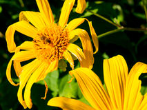 Tree marigold with bee, Mexican tournesol, Mexican sunflower wit Royalty Free Stock Image