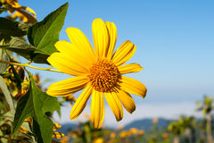 Tree marigold with bee, Mexican tournesol, Mexican sunflower wit Royalty Free Stock Photo