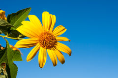 Tree marigold with bee, Mexican tournesol, Mexican sunflower wit Royalty Free Stock Photos