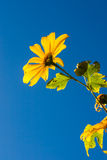 Tree marigold with bee, Mexican tournesol, Mexican sunflower wit Royalty Free Stock Photography