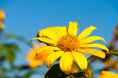 Tree marigold with bee, Mexican tournesol, Mexican sunflower wit Stock Images