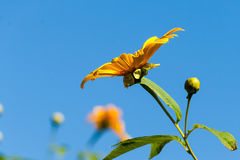 Tree marigold with bee, Mexican tournesol, Mexican sunflower wit Royalty Free Stock Images