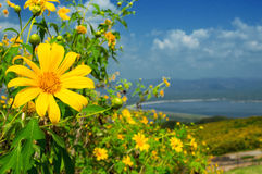 Tree marigold, Mexican tournesol, Mexican sunflower  Royalty Free Stock Photos