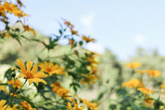 Tree marigold, Mexican tournesol, Mexican sunflower, Japanese su Stock Photos