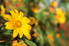 Tree marigold, Mexican tournesol, Mexican sunflower, Japanese su Stock Images
