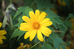 The Tree marigold, Mexican tournesol, Mexican sunflower, Japanese su Royalty Free Stock Photography