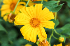 The Tree marigold, Mexican tournesol, Mexican sunflower, Japanese su Royalty Free Stock Images