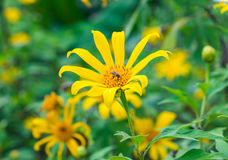 Tree marigold, Mexican tournesol, Mexican sunflower, Japanese su Royalty Free Stock Photos