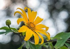 Tree marigold, Mexican tournesol, Mexican sunflower, Japanese sunflower Royalty Free Stock Images