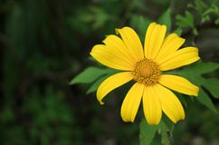 Tree marigold, Mexican tournesol, Mexican sunflower, Nitobe chrysanthemum royalty free stock photos