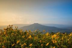Tree marigold, Mexican tournesol Stock Photo