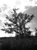 Tree in the marsh black and white Royalty Free Stock Photos