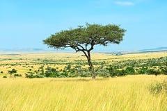 Tree Masai Mara Stock Images