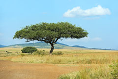 Tree Masai Mara Royalty Free Stock Photo