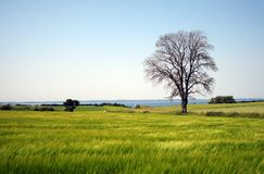 Tree in a meadow. A lonley tree in a meadow Stock Images
