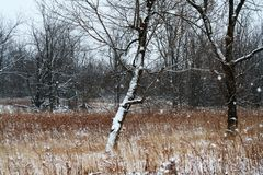 Tree in Meadow. A snow-covered tree Stock Image