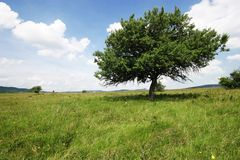 Tree on a meadow. A tree alone in a field Stock Photography