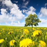 Tree in a meadow Royalty Free Stock Image