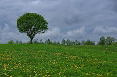 Tree on meadow. Beautiful meadow landscape with a lonely tree, cloudy sky and green grass Royalty Free Stock Images
