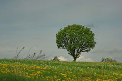 Tree on meadow 2. Beautiful meadow landscape with a lonely tree, cloudy sky and green grass Stock Image