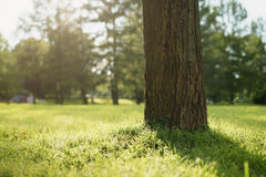 Tree on meadow in city park in sunset light Royalty Free Stock Images