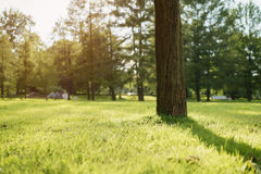 Tree on meadow in city park in sunset light Royalty Free Stock Photography