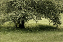 Tree in the meadow Royalty Free Stock Image