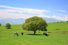 Tree on a meadow and cow Stock Image