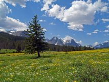 Tree in Meadow of Flowers. This image of the tree in the meadow of flowers with the mountains in the background was taken in western MT Stock Photos