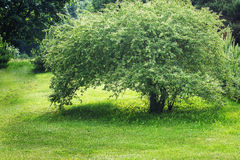 Tree in the meadow Royalty Free Stock Images