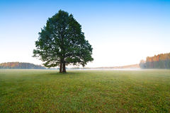 Tree in the meadow in the mist with sunlight Stock Image