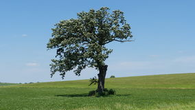 Tree In Meadow. This old tree is all alone, surrounded by a lush green meadow Stock Photo