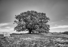 Tree in the meadow. Only one big tree in the land of somebody that surround by meadow and fields with grass bow up by the summer wind Royalty Free Stock Photography