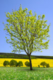 Tree on meadow. Stock Photos