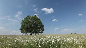 Tree on a meadow. Summer tree with flowers on a meadow stock video footage