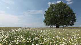 Tree on a meadow. Summer tree with flowers on a meadow stock video