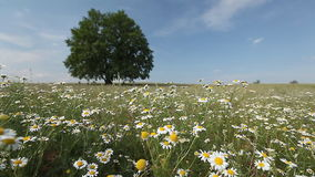 Tree on a meadow. Summer tree with flowers on a meadow. Focus on the foreground stock video