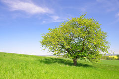 Tree on meadow Royalty Free Stock Photo