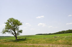 Tree in the meadow. Meadow on a Sunny summer day Stock Image