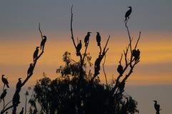 Tree med Cormorants Arkivfoto