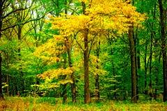 Tree med gulna leaves i skogen arkivfoton