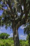 Tree med moss Arkivbild