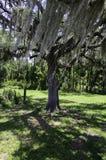 Tree med moss Arkivbilder