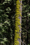 Tree med moss arkivfoton