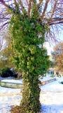 Tree med murgrönaen Royaltyfri Foto